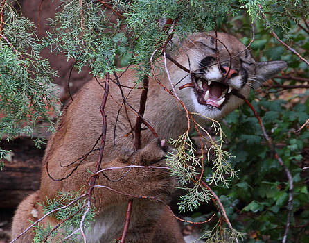 Mountain Lion by Old Pueblo Photography
