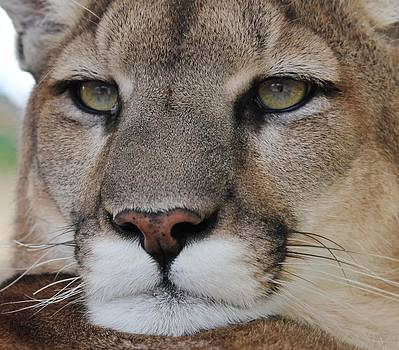 Mountain Lion Portrait 2 by Diane Alexander
