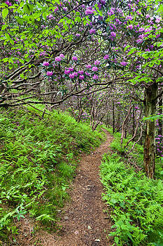 Mountain Trail with Catawba Rhododendron by Mark VanDyke