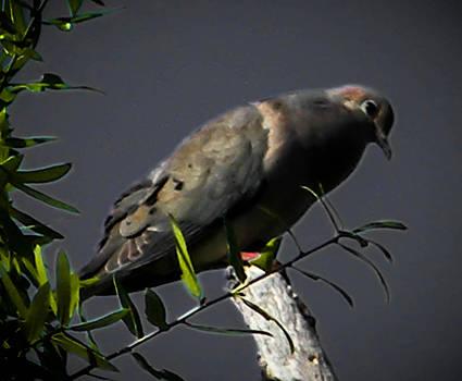 Christy Usilton - Mourning Dove