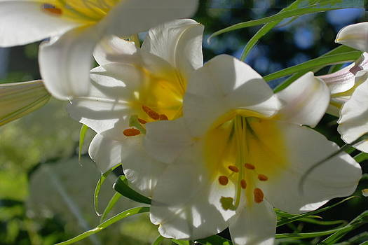 Rosemarie E Seppala - Moving White Hybrid Lilies With Streaming Bokeh