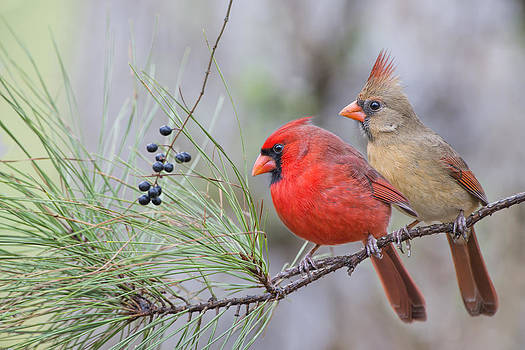 Mr. and Mrs. Redbird in Pine Tree by Bonnie Barry