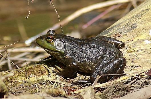 Mr. Bullfrog by Tammy Franck
