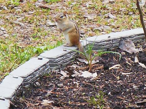 Mr Chipmunk by Fawn Whelahan