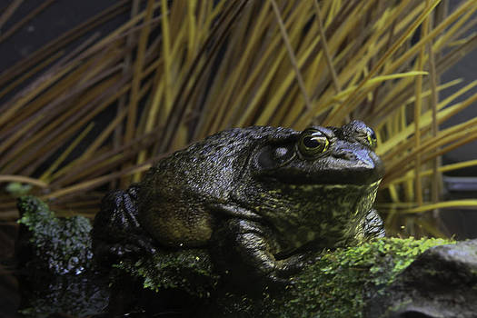 Qing  - Mr Frog