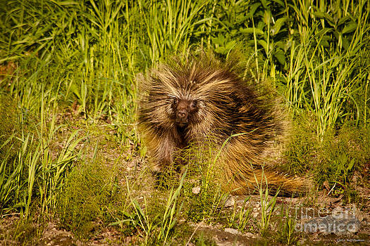 Mr. Porcupine by Chris Heitstuman
