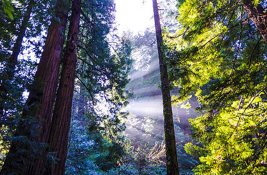 Muir Woods - Fog and Light by Gej Jones