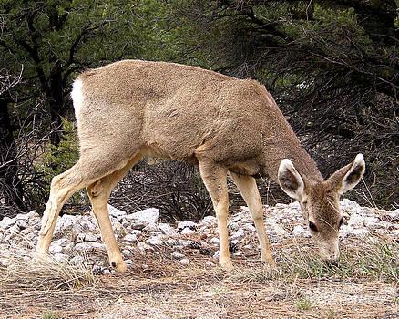 Mule Deer Doe by Laurie Klein
