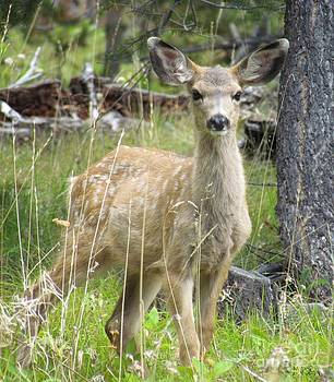 Mule Deer Fawn by Sharon Marcella Marston