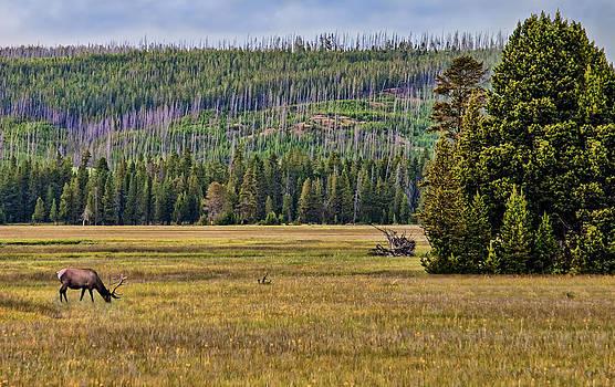 Mule Deer In Field by Alina Marin-Bliach