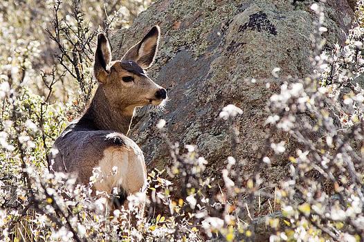 Mule Deer by Jaci Harmsen