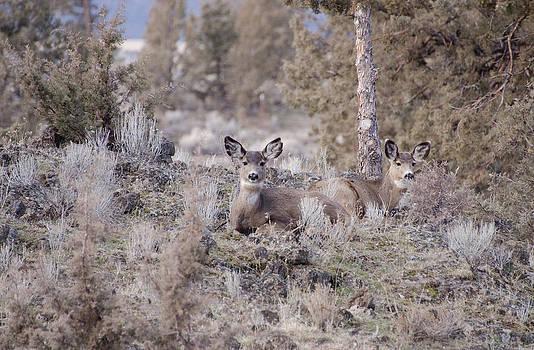 Mule deer nap by Linda Larson