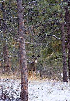 Steve Krull - Mule Deer