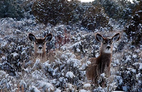 Eric Rundle - Mule Deer Twins