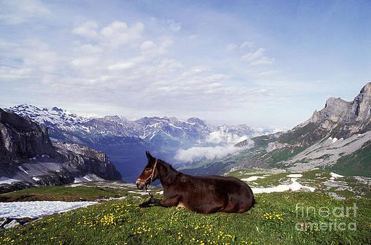 Rolf Kopfle - Mule Lying Down In Alpine Meadow