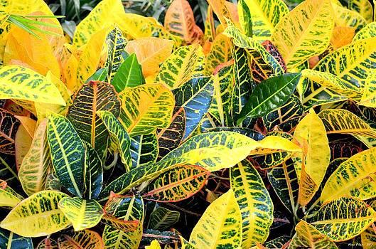 Maria Urso  - Multi-Colored Croton