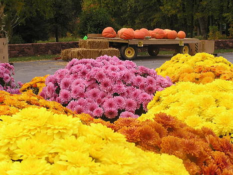Mums and Pumpkins by Julie Grandfield