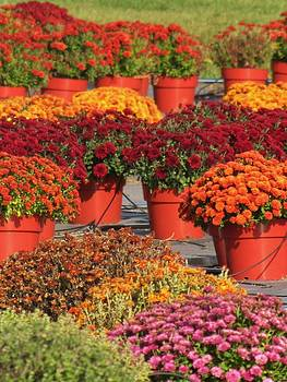 Mums For Sale by Lori Frisch