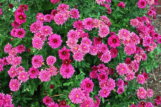 Mums in Bloom by Carolyn Ricks