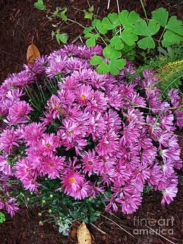 Ellen Miffitt - Mums in the Flower Garden