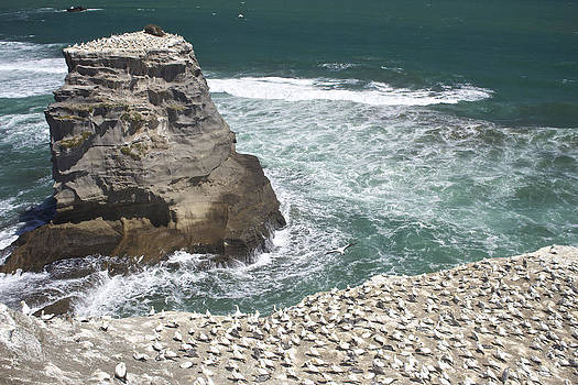 Venetia Featherstone-Witty - Muriwai Gannet Colony New Zealand