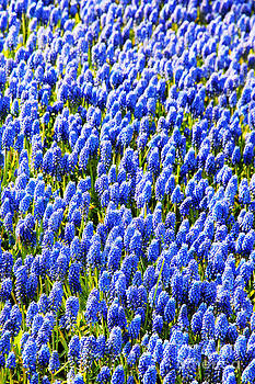 Jasna Buncic - Muscari Early Magic