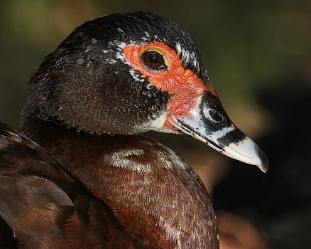 Muscovy Duck by Erin Tucker