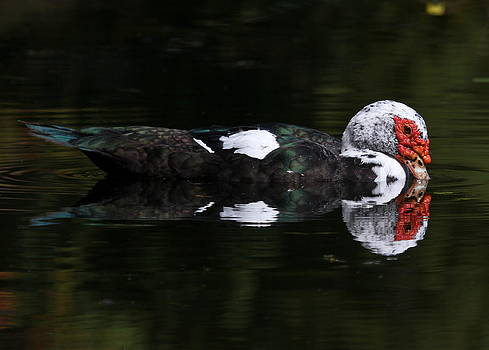 Erin Tucker - Muscovy Reflections