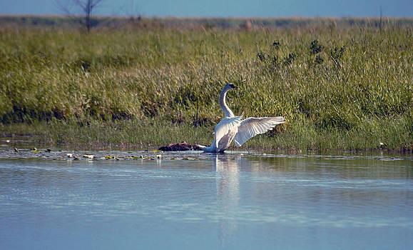 Mute Swan 1 by Ed Nicholles