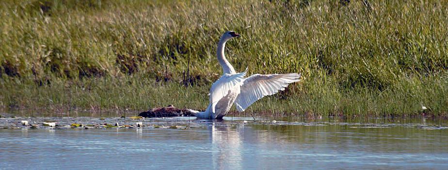 Mute Swan 2 by Ed Nicholles