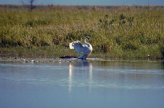 Mute Swan 3 by Ed Nicholles