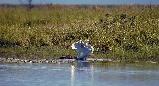 Mute Swan 6 by Ed Nicholles
