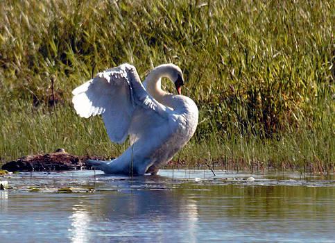 Mute Swan 7 by Ed Nicholles