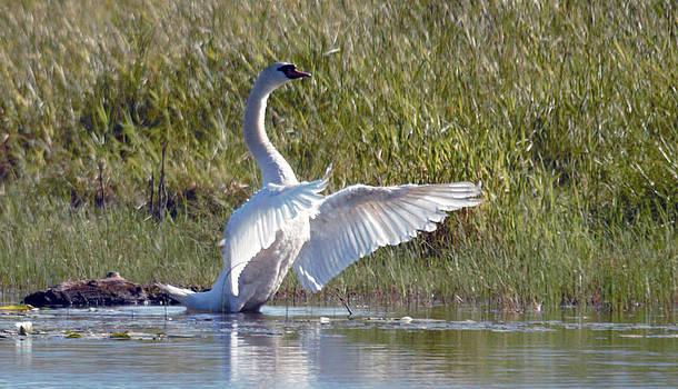 Mute Swan 8 by Ed Nicholles