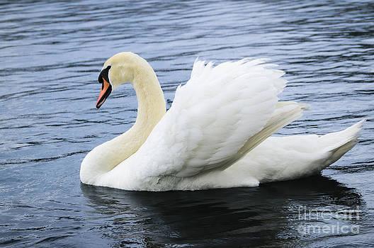 Oscar Gutierrez - Mute Swan Cygnus olor