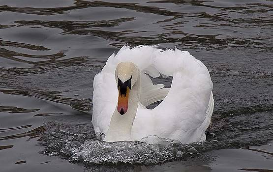 Mute Swan  first place winner  by Heide Stover