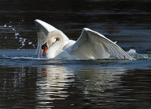 Mute Swan Just Landed by Heide Stover