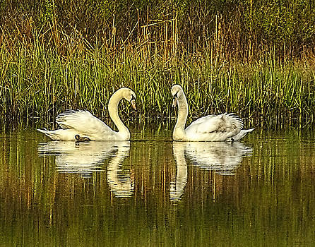Terry Shoemaker - Mute Swans and Reflection