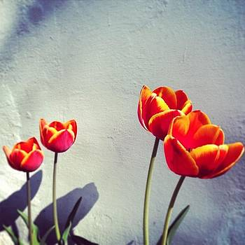 My Beautiful Tulips #tulips #flowers by A Loving