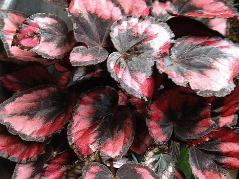My begonia by Martin Fried MD