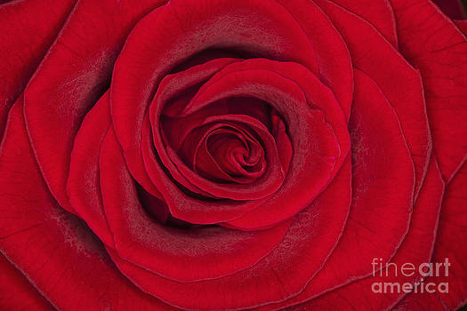 My Love is Like a Red Red Rose by Diane Macdonald