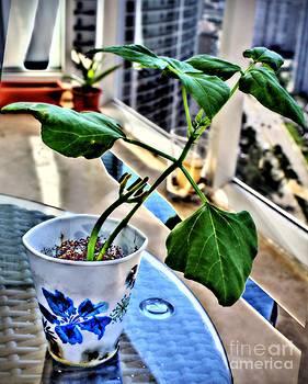 Ines Bolasini - My Pinto bean plant