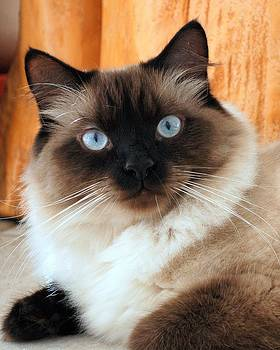 My Ragdoll by Martha Lyle