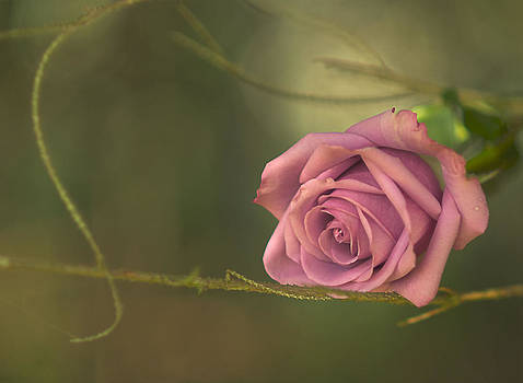 Mysterious Rose by Sandra Silva