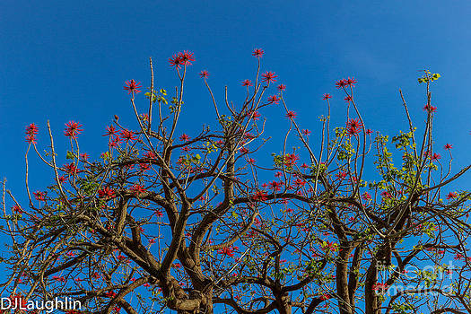 Naked Coral Tree by DJ Laughlin