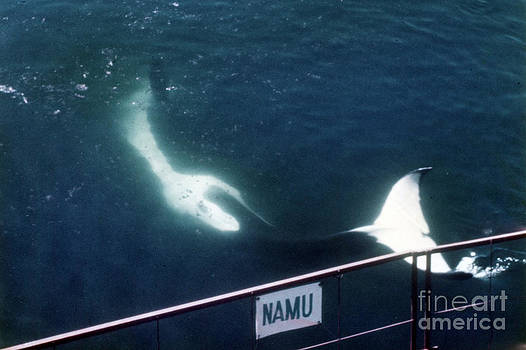 California Views Archives Mr Pat Hathaway Archives - Namu the Killer Whale Seattle Washington  1965