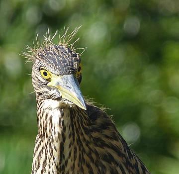 Margaret Saheed - Nankeen Night Heron Junior