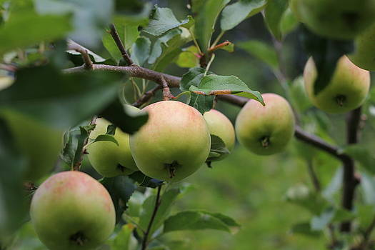 Nanna Apples by Harald Ole Hansen