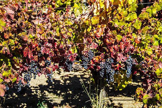 Napa Fall Grapes by Brian Williamson