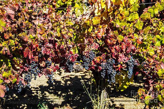 Napa Valley wine grapes by Brian Williamson